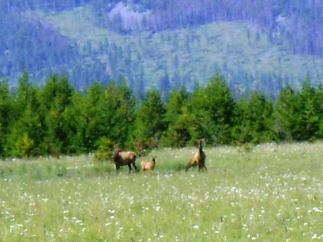 Big Elk Ranch Elk