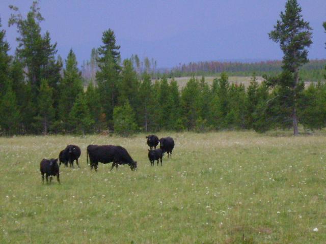 Big Elk Ranch Cattle Graze